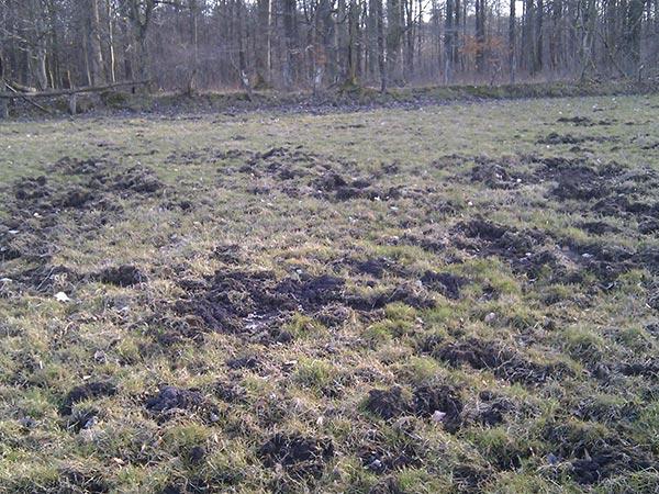 Grünlandschaden Durch Wildschweine ©jaegeralltag.de