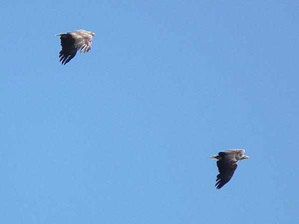 Seeadler ©jaegeralltag.de