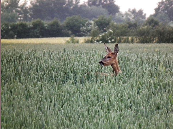 Reh Im Weizen ©jaegeralltag.de