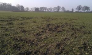 Wühlschäden durch Wildschweine auf einem Weizenfeld