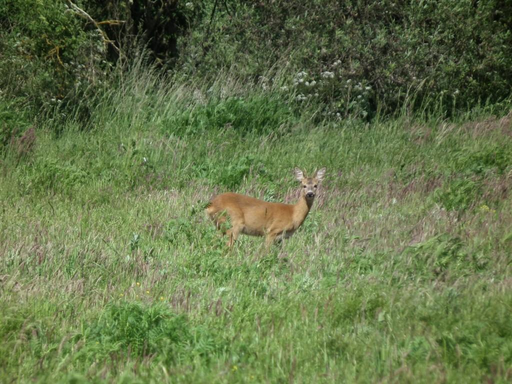 einjähriger Rehbock, schwerer Wildkörper & schwaches Gehörn
