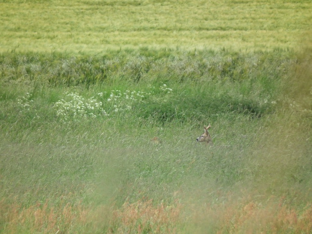 mittelalter Sechser im hohen Grasland. links steht noch verdeckt eine Ricke