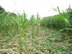 Wildschaden in einem Maisfeld durch Schwarzwild