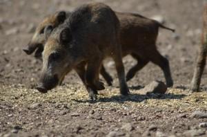 Wildschwein Schwarzwild Keiler Frischlinge Jagd