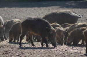 Schwarzwild, Wildschweine Überläufer Bache Keiler Frischlinge