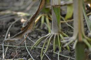 Maispflanzenwurzel