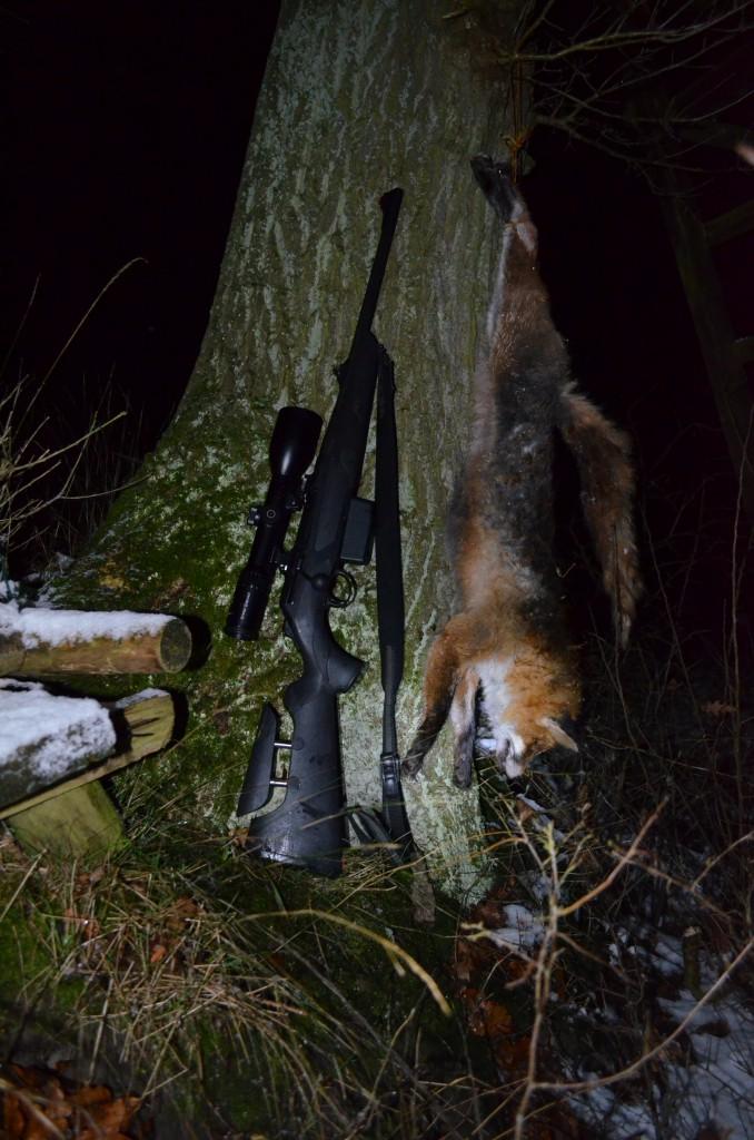 Fuchs mit Anzeichen einer Räudeerkrankung
