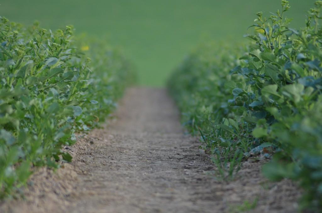 Rapsfeld im April. Gerade noch lässt das Wachstum einen Blick zu. Bald blühen die Felder gelb.