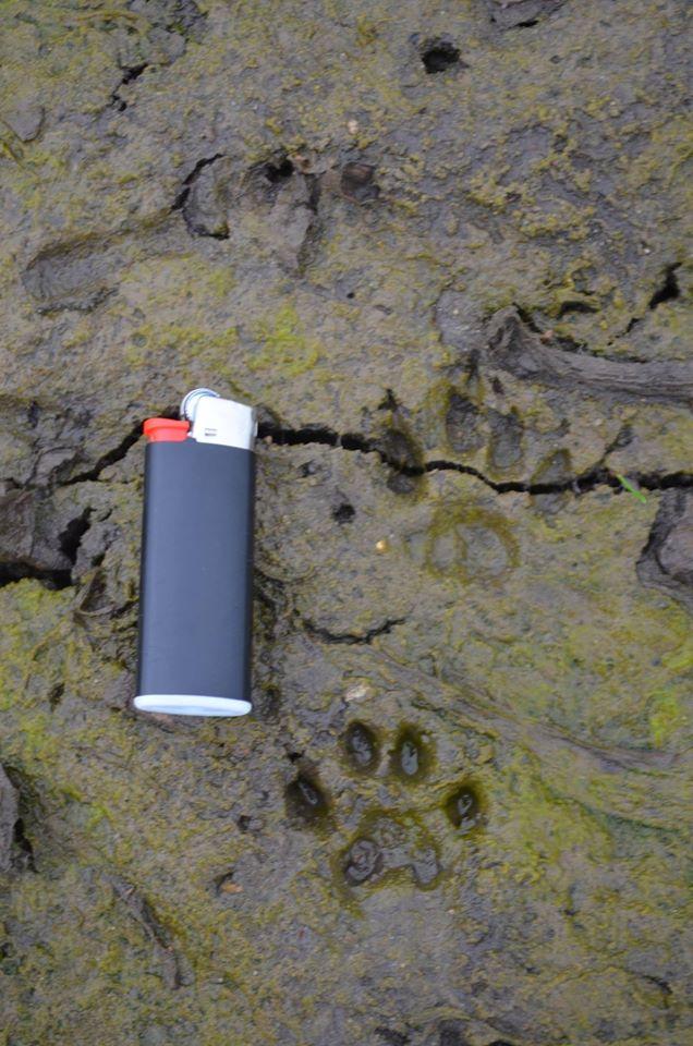 Marderhund/Enok Maßstab: kleines Feuerzeug ca. 4 cm