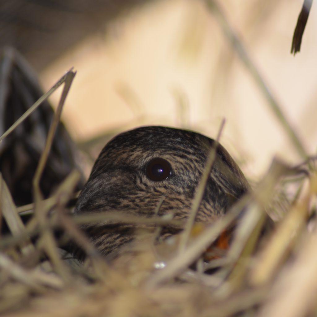 Eine Stockente Legt Zwischen 8-13 Eier. Nach Dem Letzten Ei Fängt Die Ente Mit Der Brut An, Die 28 Tage Dauert.