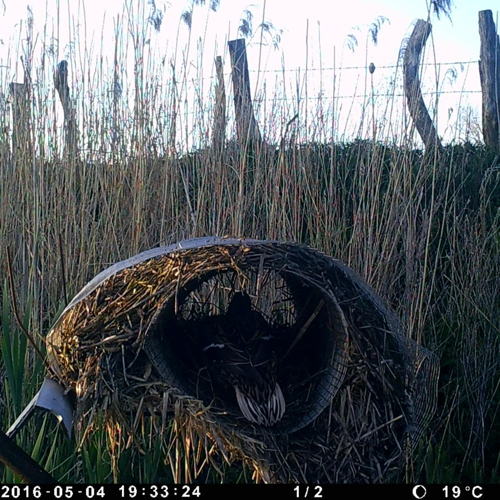 Die Stockenten Verließ Maximal Zwei Mal In 24 Stunden Das Nest. Der Ausflug Dauerte Circa Eine Stunde.