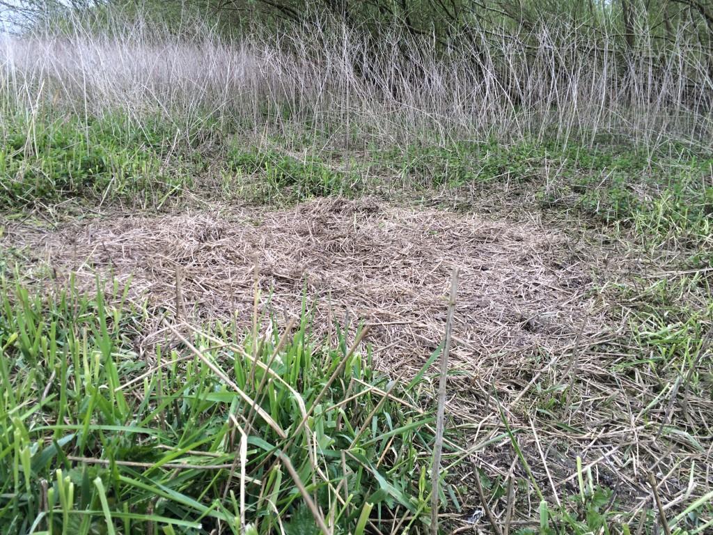 Fast im Offenland haben wir diesen Sauenkessel gefunden. Die Bache rupft das umliegende Gras und trägt es auf einem Platz für ein Trockenlager zusammen. Feuchtigkeit (+Kälte) mag der Sauennachwuchs garnicht.