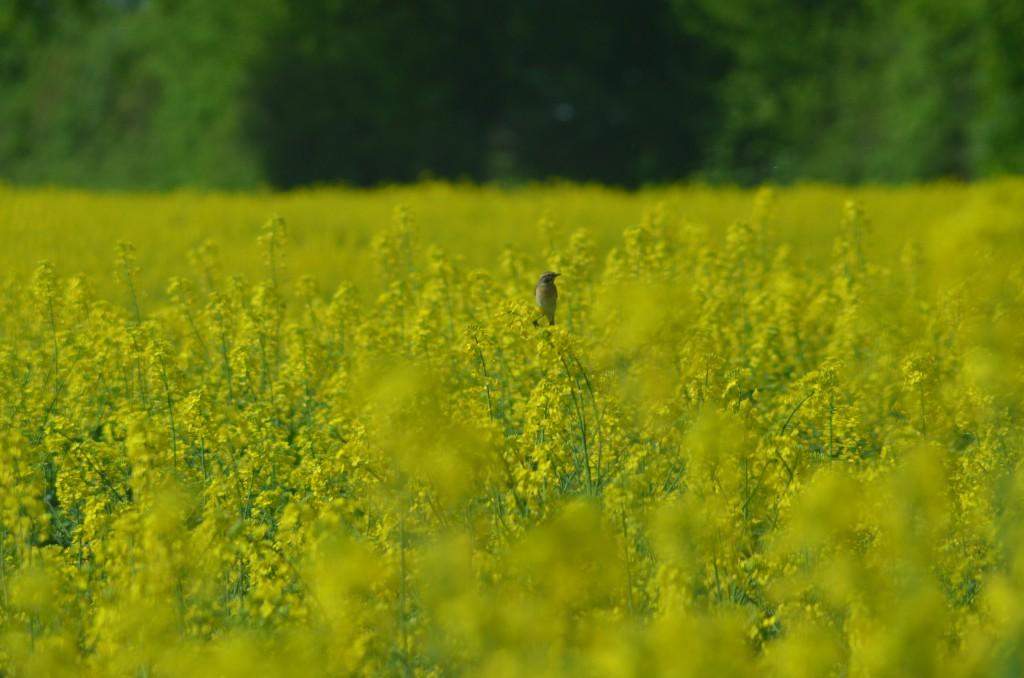 Das Gelb der Rapsfelder gehört zum Mai.