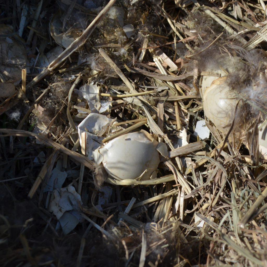 Die Schalenreste Belegen Den Erfolgreichen Schlupf Der Entenküken