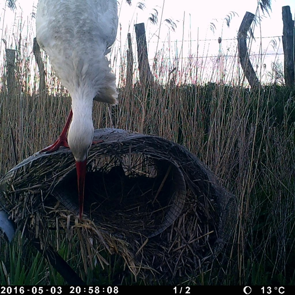 Der Storch Kam Aufgrund Der Röhrenlänge Nicht An Das Entengelege An.