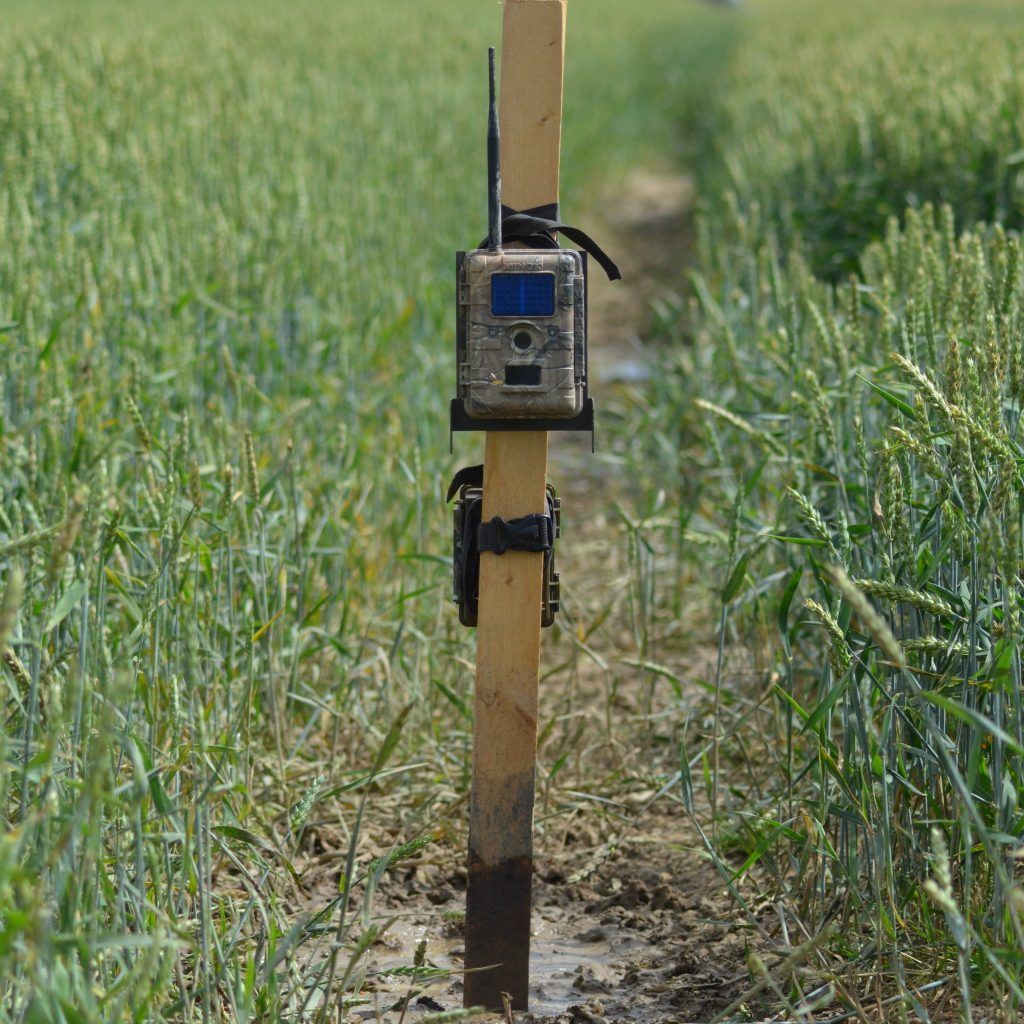 Die Wildschweine Sind Jetzt Im Weizen. Mit Zwei Wildkameras Versuche Ich Die Gassengänger Zu Filmen. #minox