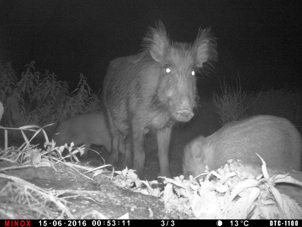 Bachen mit Frischlingen an der Raps-/ Weizenfeldkante. Eine kleine Kirrung, Buchenholzteer und eine brauchbare Wildkamera bringt solch ein aussagekräftiges Bild. Ich weiß, wo und was sich an Schwarzwild in der Nähe aufhält.