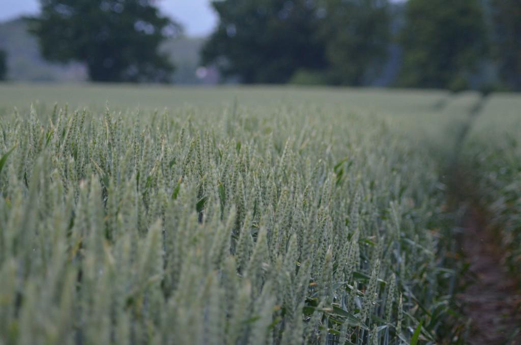 In einem Weizenfeld kann man gut pirschen...immer der Fahrspur lang und schon auf den Wind achten.
