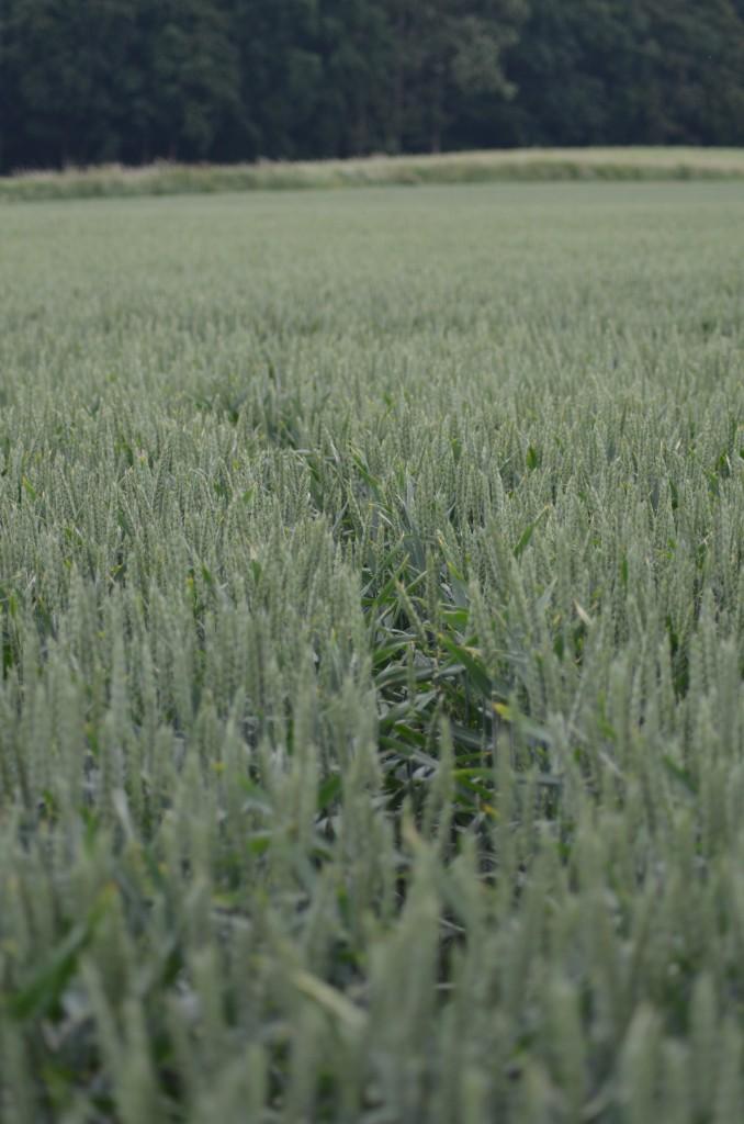 Das Schwarzwild läuft natürlich auch quer durch das Weizenfeld. Von erhöhten Punkten kann man die Pfade, Wechsel, erkennen.