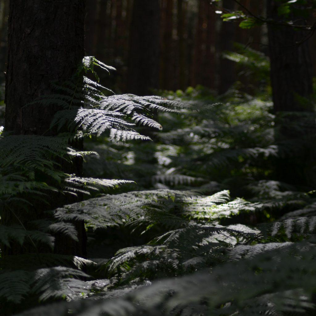 Wenn Der Farn Da Ist, Kann Keine Waldverjüngung Mehr Stattfinden.