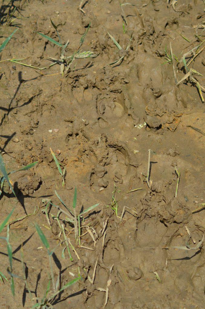 Das Schwarzwild ist jetzt regelmäßig bei uns im Weizen. Gerade nach einem Regen kann man die Fahrgassen entlang gehen und deutlich feststellen, wer dort seine Runden dreht.