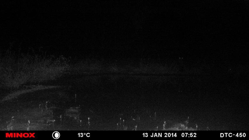 Rotte Sauen Am Wasserloch. Die Leuchtenden Augen Im Hintergrund Reflektieren Den IR-Blitz.
