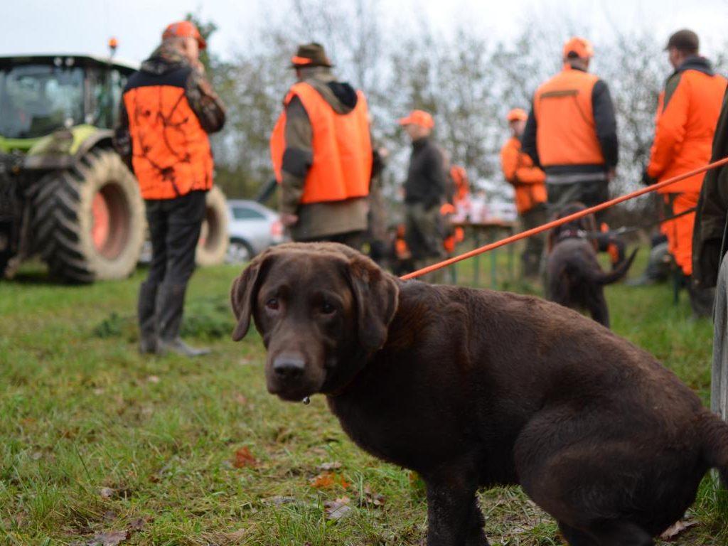 Treibjagd Fasan Hase Fuchs Labrador Dd Dreispross Niederwildjagd (10)