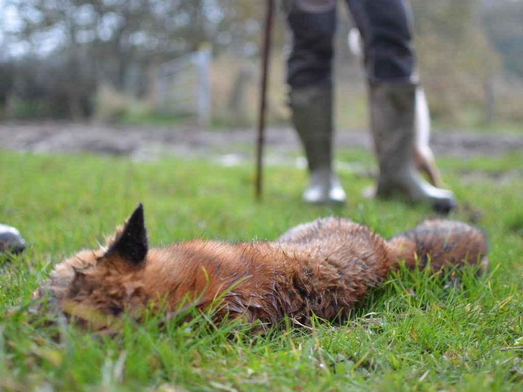 Treibjagd Fasan Hase Fuchs Labrador Dd Dreispross Niederwildjagd (7)