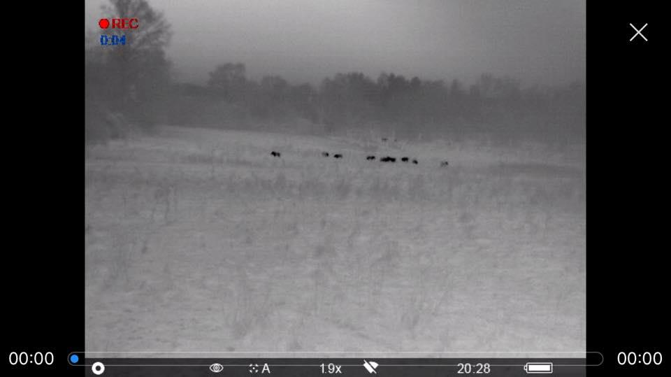 Rotte Wildschweine Auf 300 Meter, Blick Durch Die Wärmebildkamera Pulsar Helion XP 38