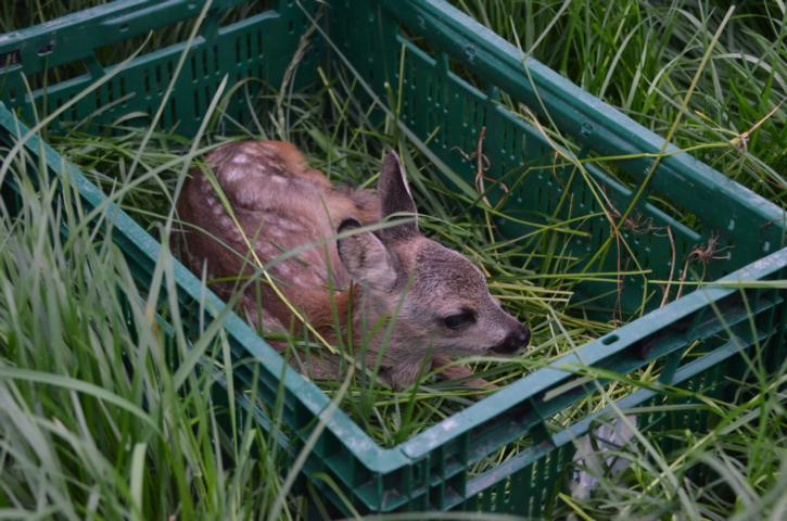 Eines der gefundenen Rehkitze. Es wird von den Helfer vorsichtig, mit Handschuhen und reichlich Gras geborgen und in einer Kiste an den Wiesenrand abgestellt. Nach der Mahd wird es aus der Kiste genommen und abgelegt, so dass die Ricke/ Rehgeiß es wieder findet.