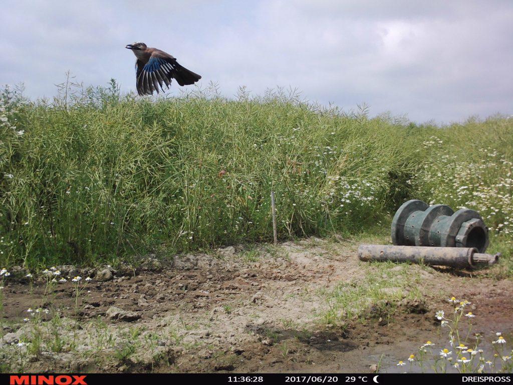 Minox DTC 550. Es ist nur ein Eichelhäher und trotzdem ist es ein Mega-Wildkamerabild. Die Schärfe des fliegenden Vogels mit einem Maiskorn im Schnabel.