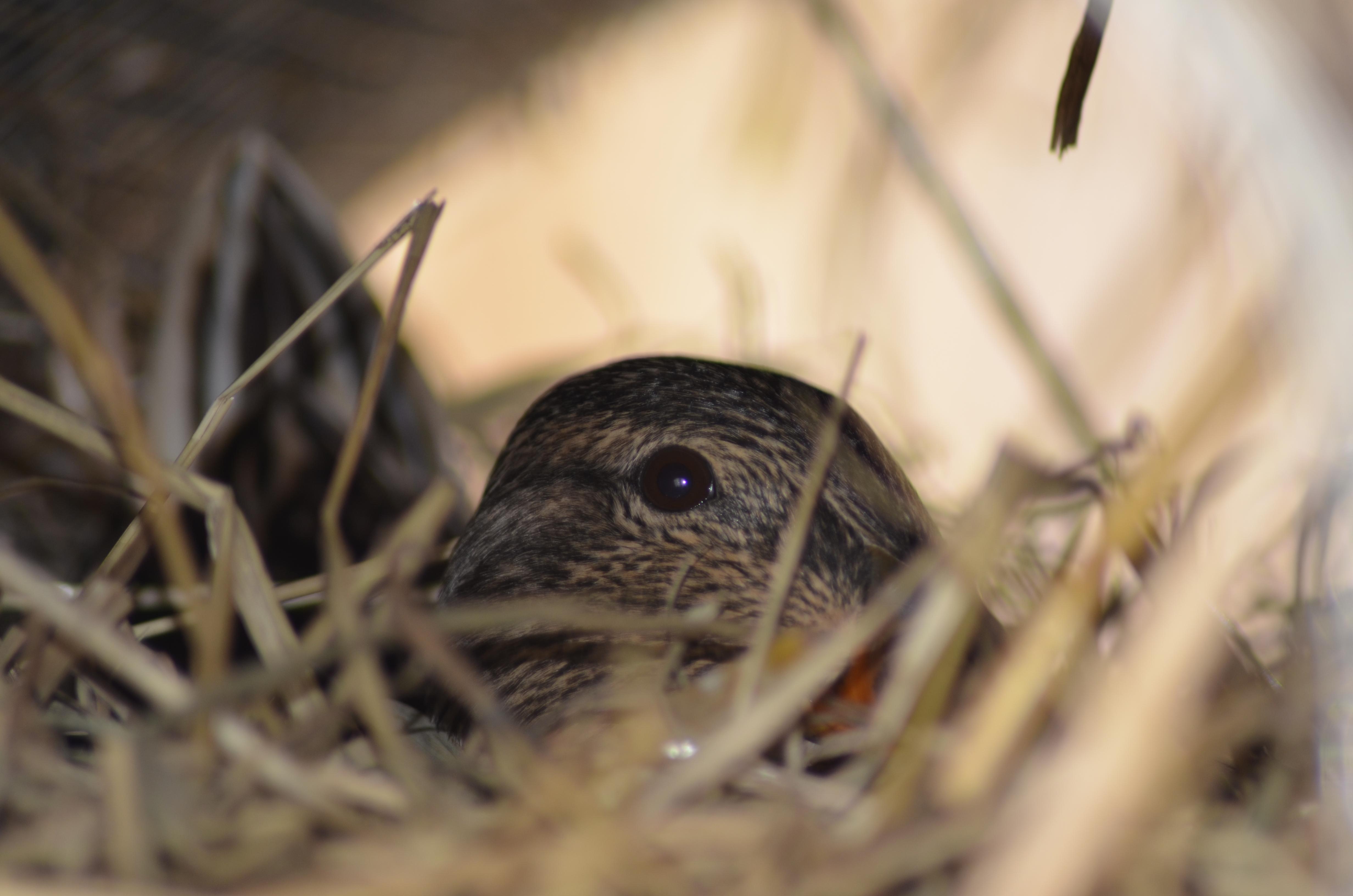 Die Ersten Eier Im South Dakota Hen House